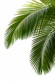 stock photo of tree leaves  - Leaves of palm tree  isolated on white background - JPG