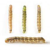 wild caterpillars, on a white background