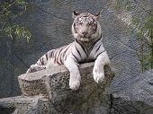 image of endangered species  - A white tiger in captivity at Chiang Mai zoo - JPG