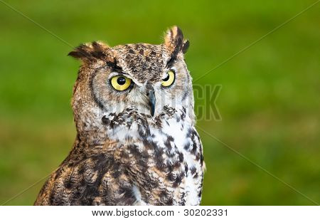 Brown Owl Closeup