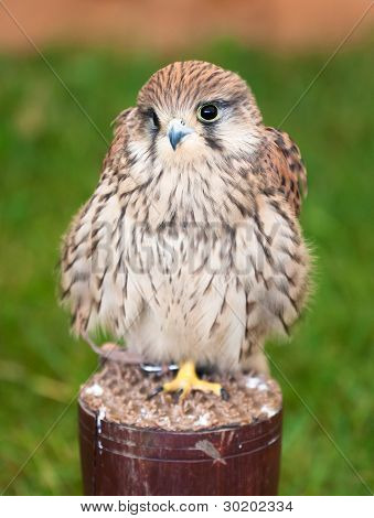 Closeup Of A Kestrel