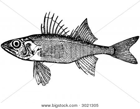 Fish Percarina Demidoffi Nordm. (Latin) Illustration