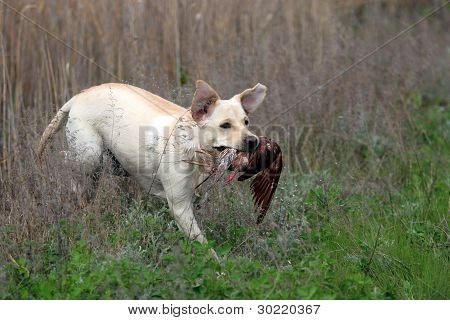 Yellow Labrador Carrying A Bird