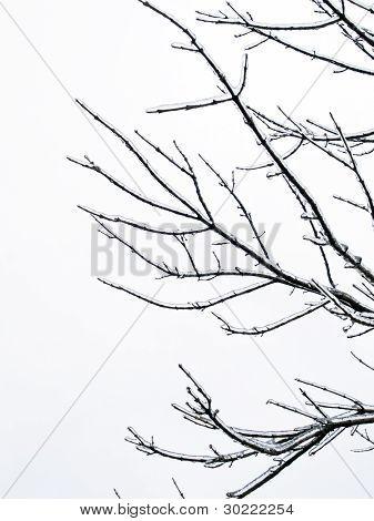 Background - Tree Limb With Ice