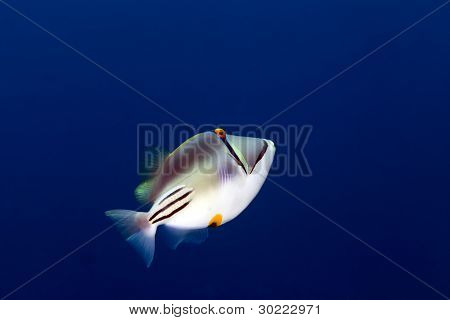 Picasso triggerfish in the Red sea.