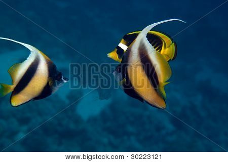 Bannerfish in the Red sea.