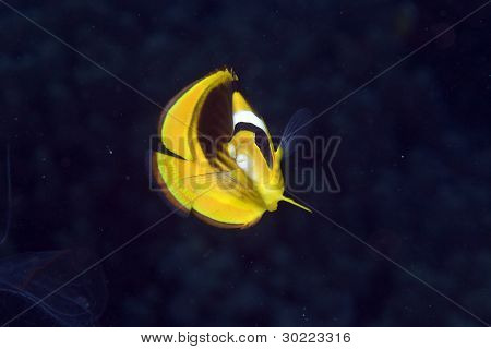 Striped butterflyfish in the Red Sea.