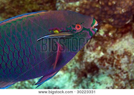 Parrotfish in de Red Sea.