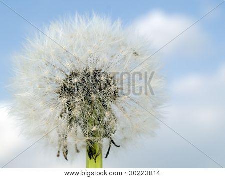 Macro Texture - Plants - Dandelion