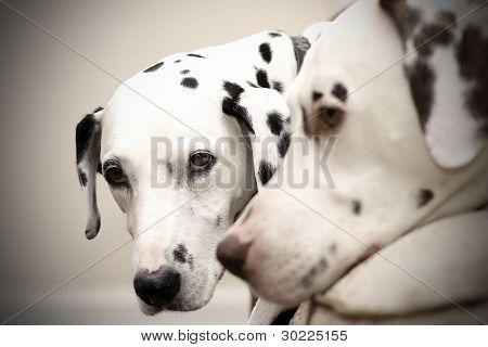 Dalmatian Doggies