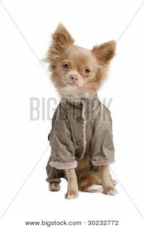 Tiny chihuahua with winter coat