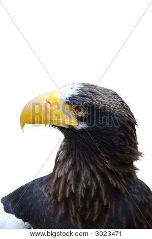 White Shoulder Eagle