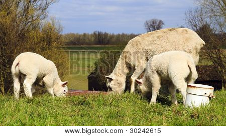 Mother And Two Young Lambs