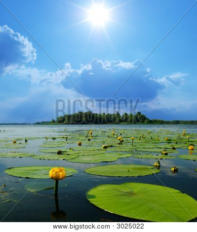 Water Lilly Blossoms
