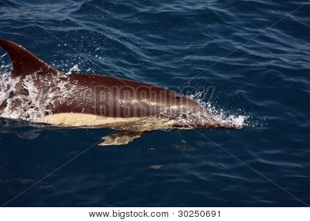 schöne Delfine im Ozean, Naturfoto