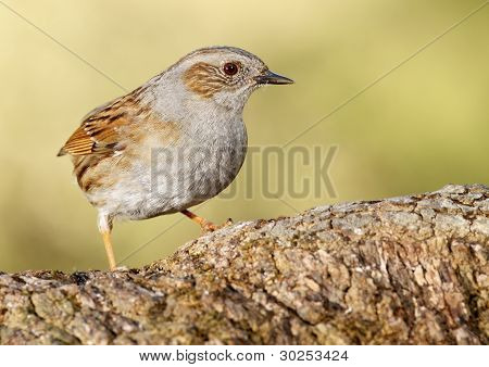 Common accentor