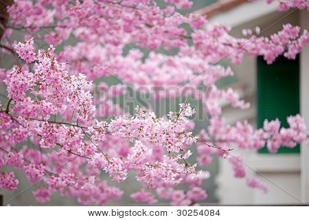 Cherry blossoms season on Wuling Farm, Taiwan