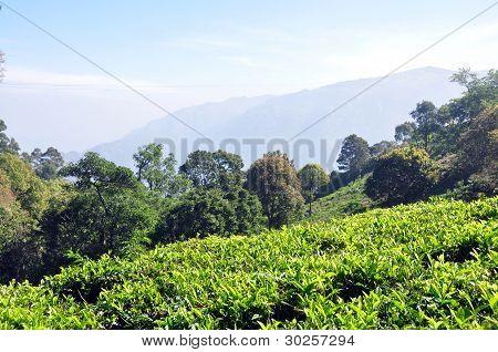 Indian Tea Gargens