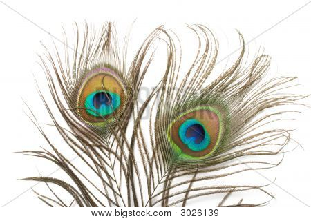Two Peacock Feathers Close Up