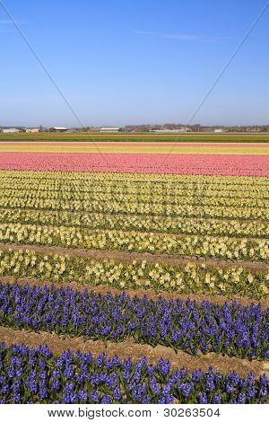 Hyacinth Fields In Bloom In Holland