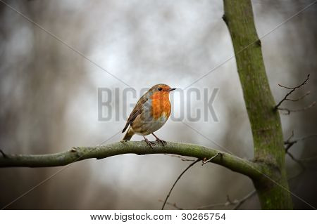European Robin Redbreast (erithacus Rubecula Melophilus) Perched On A Branch