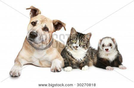 Ferret y Staffordshire Terrier gato