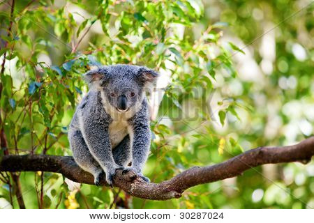 Cute Australian koala in its natural habitat of gumtrees