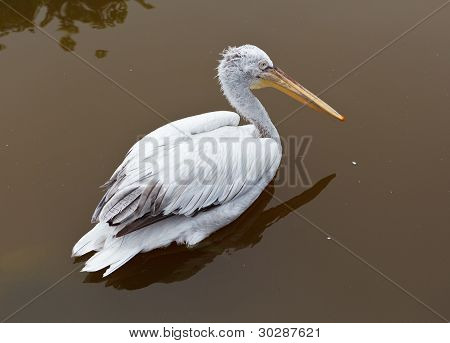 Pelican At The Zoo