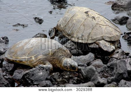 Two Honu On A Black Sand Beach