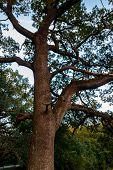 Tall Green Oak Tree In Park poster