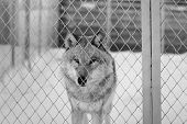 Siberia, A Private Zoo. In The Frame Of The Wolf Alpha Male. Photographed In Siberia, Novosibirsk Re poster