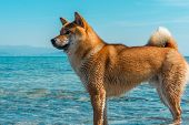 Young Pedigree Dog Resting On The Beach. Red Shiba Inu Dog Standing In The Black Sea In Novorossiysk poster
