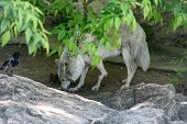 White Wolf Canis Lupus Albus Tundra Wolf Or With A Crippled Paw, A Victim Of Human Cruelty In The Zo poster