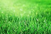 Closeup Green Grass With Waterdrop Bokeh On The Field. Fresh Green Grass With Dew Drops Closeup With poster