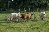 stock photo of feedlot  - some cows in Southern Germany near forest edge at summer time - JPG