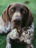 portrait of a dog, german pointer  poster