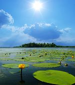 image of water lilies  - water lilly blossoms in summer day - JPG