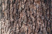 Bark Of Pine Tree. Seamless Tree Bark Background. Brown Texture Of The Old Tree. poster