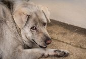 Closeup Sad Dog Lying On Concrete Floor. Fat Dog Bored For Waiting Owner. Expression Face Of Domesti poster