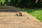 Varanus Salvator Walking On The Floor. Is A Reptile In Southeast Asia poster