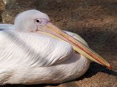 White Pelican Has A Rest poster