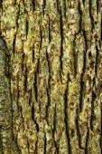 Постер, плакат: Текстура дерева кора