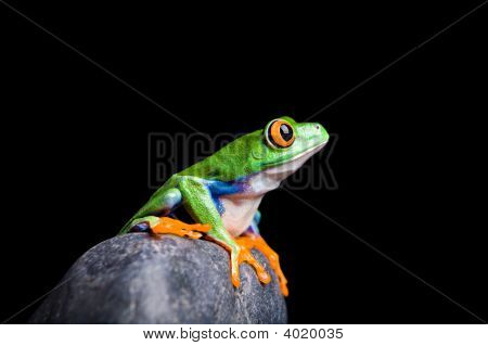 Red-Eyed Tree Frog On A Rock