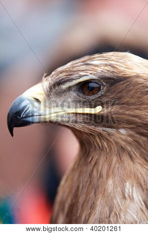 Head Of An Alert Eagle, Closeup Portrait