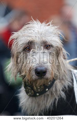 Inquisitive Grey Wolfhound