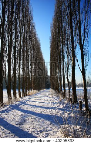 Poplar tree alley in winter