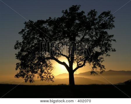 Oak Tree Against Sunset
