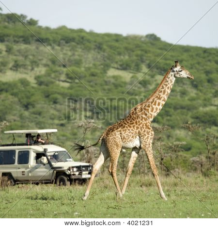 Girafe In The Serengeti Passing In Front Of Tourist