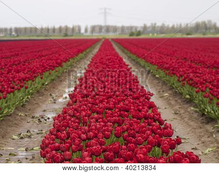 A Row Of Red Tulips With Blue Sky As Background