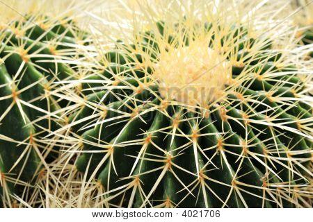 Cactus Spikes Closeup